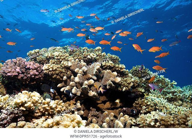 Colorful Coral Reef, Beqa Lagoon, Viti Levu, Fiji