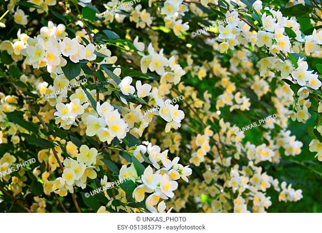 Beautiful white jasmine flower, breed Bialy Karzel