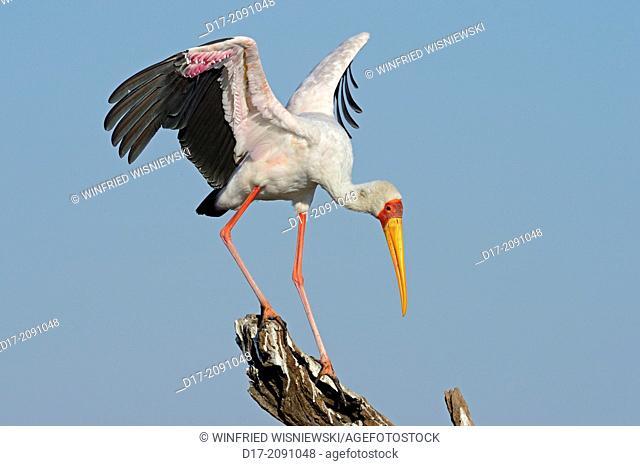 Yellow-billed stork (Mycteria ibis=Ibis ibis). Island in Chobe River NP, Botswana