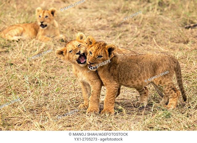 Lion cubs play fighting