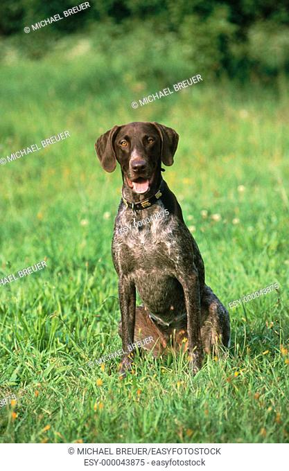 Hunting hound. Deutsch Kurzhaar. Germany