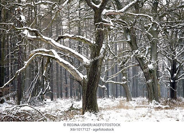 Oak tree, Quercus robur, in winter, Sababurg ancient forest NP, North Hessen, Germany