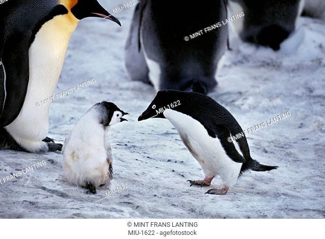 Adelie penguin, Pygoscelis adeliae, approaching emperor penguin chick, Aptenodytes forsteri, Weddell Sea, Antarctica