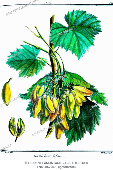 Old botanical board of the grappe species Cornichon blanc