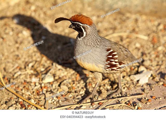 a male california quail in the desert