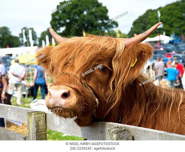 Highland Cattle at Ryedale Show Kirkbymoorside North Yorkshire England UK Great Britain GB