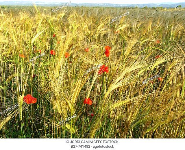 Wheat field, La Garrotxa, Girona, Catalonia, Spain