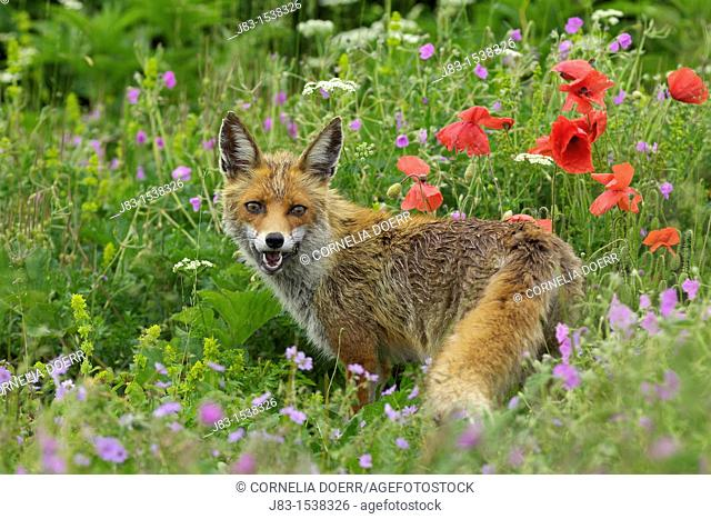 Red Fox in flowering meadow with poppies, Vulpes vulpes, Monti Sibillini National Park, Umbria, Italy