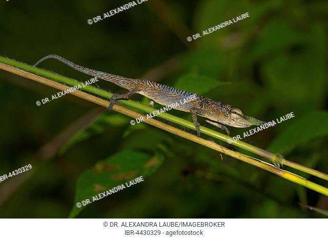 Long-nosed chameleon (Calumma gallus) on branch, male, Vohimana, Eastern Madagascar, Madagascar