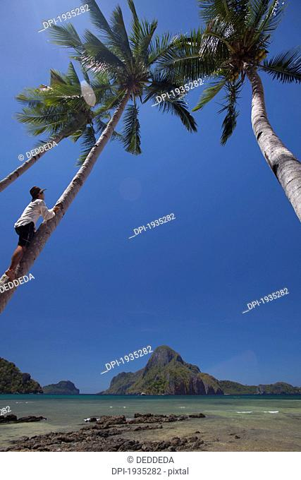 a man climbs a coconut palm tree, el nido, bacuit archipelago, palawan, philippines