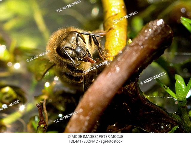A honey bee drinking from saturated vegetation in pond, Apis