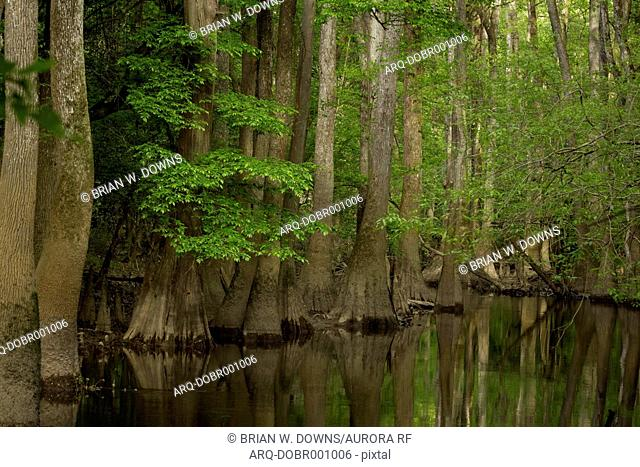 Cypress outcropping along the Cedar Creek in Congaree National Park just outside of Columbia, South Carolina