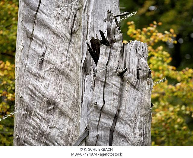 Europe, Germany, Saxony-Anhalt, Harz National Park, bark-infested spruces, Ilsetal, Ilsenburg