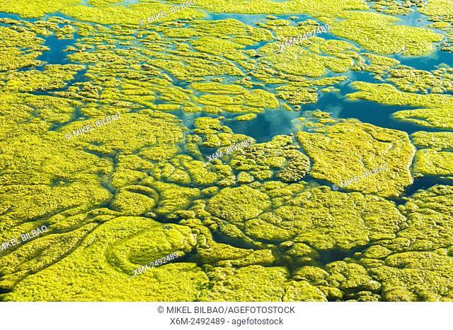 green Algaes. Joyel salt marsh. Marismas de Santoña, Victoria y Joyel Natural Park. Cantabria, Spain, Europe