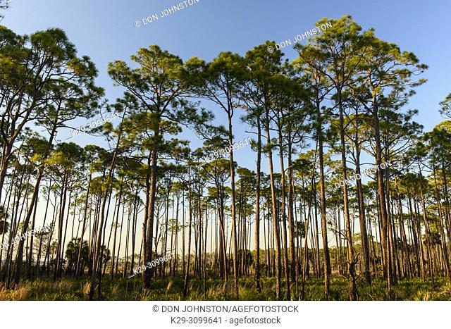 Slash pine woodland, St. Marks NWR, Florida, USA