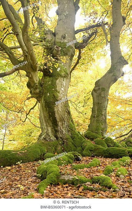 common beech (Fagus sylvatica), in autumn, Germany, Hesse, Naturpark Edersee, Bad Wildungen