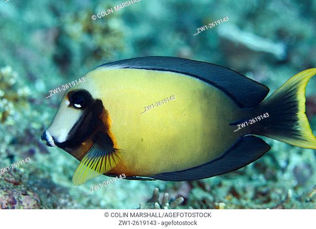 Mimic Surgeonfish (Acanthurus pyroferus), Crystal Lagoon dive site, Candidasa, Bali, Indonesia