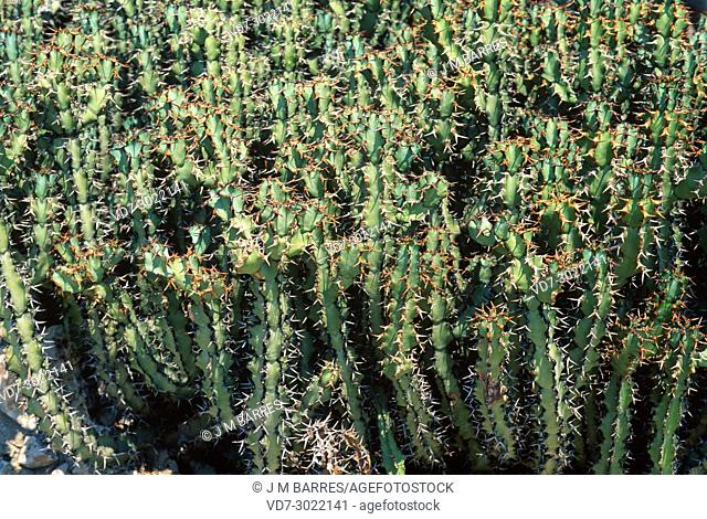 Blue euphorbia or sweetnoors (Euphorbia caerulescens) is a thorny succulent shrub endemic to South Africa