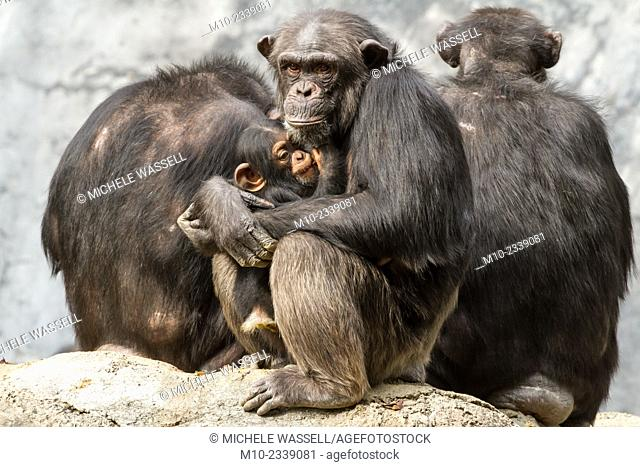 A protective Chimpanzee mother holding her baby securely