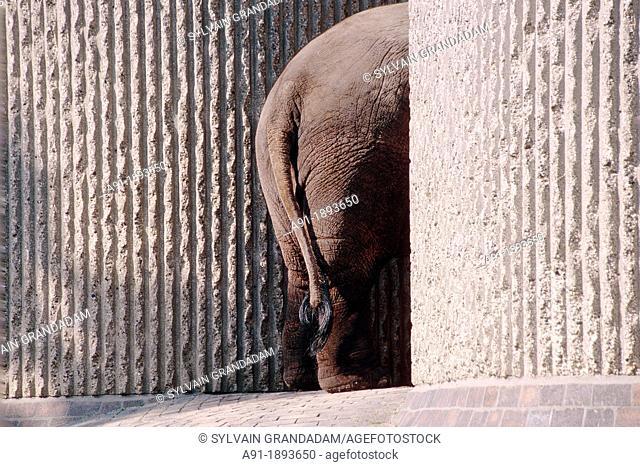 UNITED KINGDOM LONDON REGENT PARK ZOO  AN ELEPHANT ENTERING THE CONCRETE SHELTER