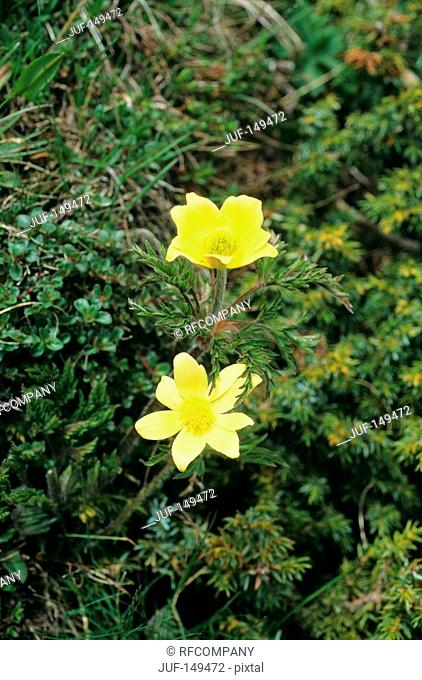 mountain avens - yellow blossoms