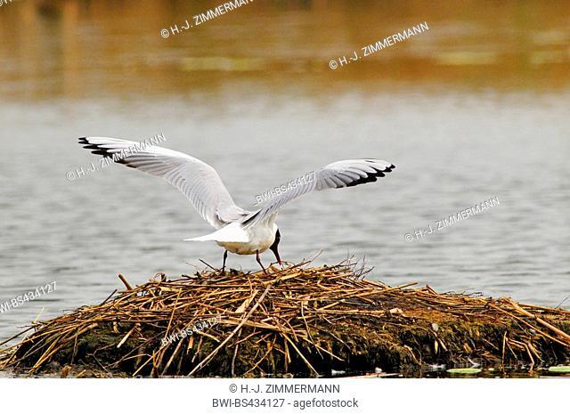 black-headed gull (Larus ridibundus, Chroicocephalus ridibundus), on its nest, Germany, North Rhine-Westphalia, Rieselfelder Muenster