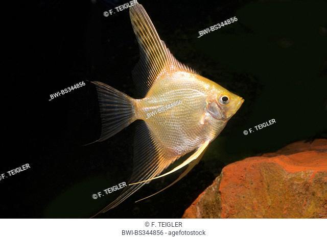 freshwater angelfish, longfin angel fish, black angelfish, scalare (Pterophyllum scalare), breed gold