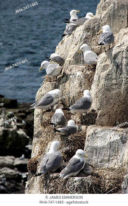 Kittiwakes nesting on cliff ledges, Farne Islands, Seahouses, Northumberland, England, United Kingdom, Europe
