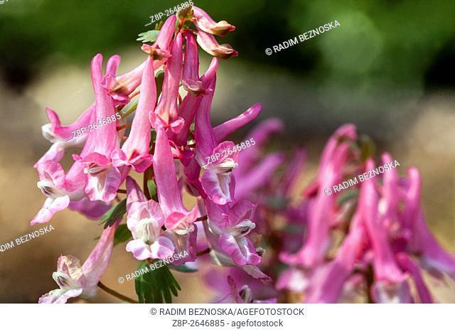 Corydalis solida 'Beth Evans', Fumewort