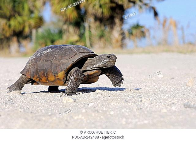 Gopher Tortoise Florida USA Gopherus polyphemus