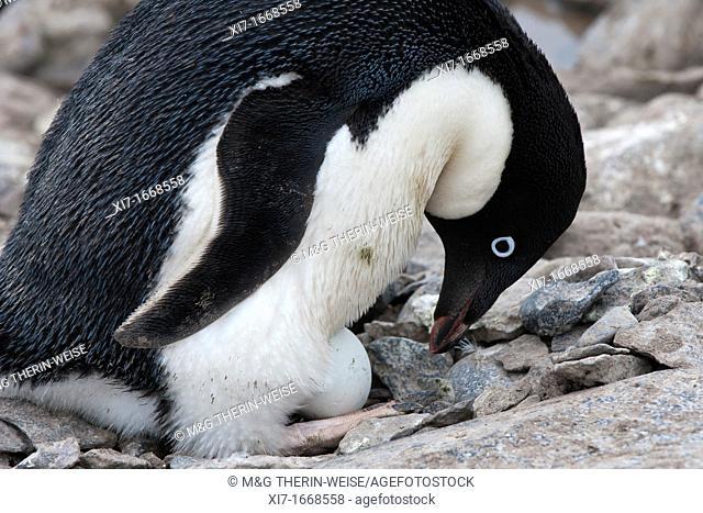 Adelie Penguin Pygoscelis adeliae incubating an egg, Paulet Island, Erebus and Terror Gulf, Antarctic peninsula
