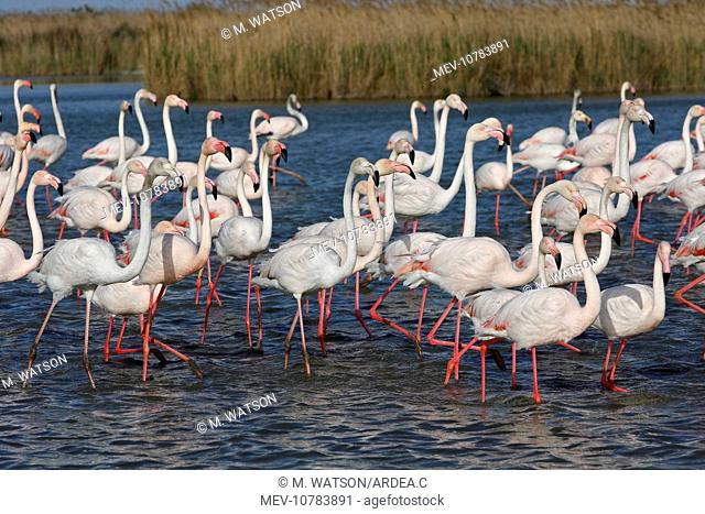 Greater Flamingo. (Phoenicopterus ruber)