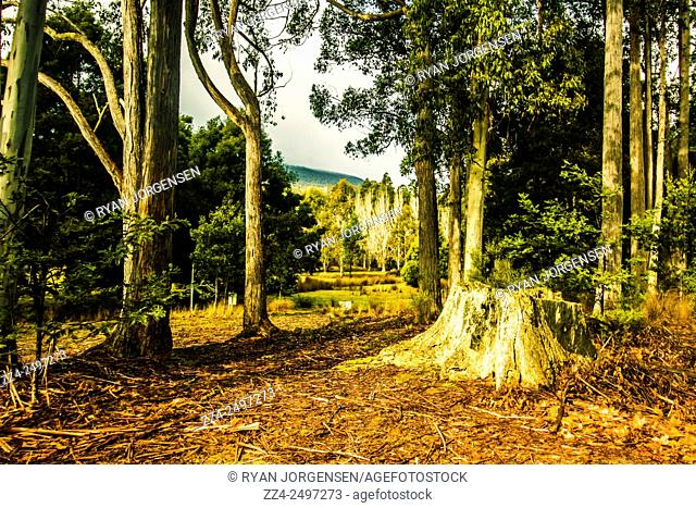 Sunny summer morning scenery of a forest clearing in the woods with moss covered tree stump. Mt Field, Tasmania
