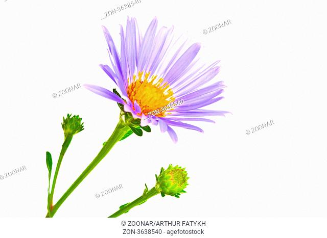 Beautiful summer flower isolated on white background