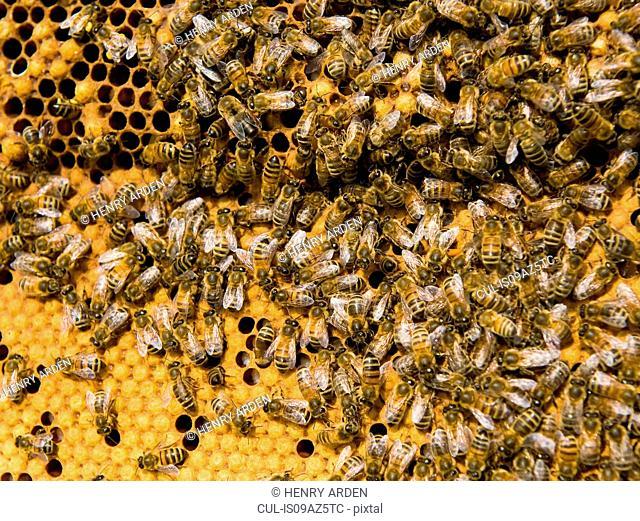 Honey bees on honeycomb