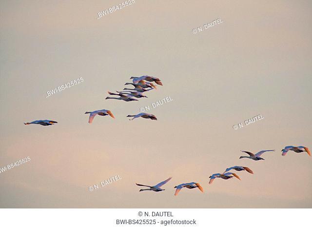 mute swan (Cygnus olor), flying flock, Germany