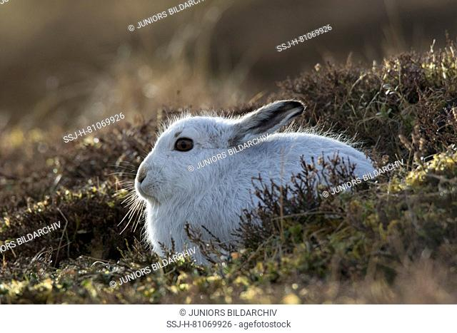 Mountain Hare (Lepus timidus). Adult in white winter coat (pelage) in backlight. Cairngorms National Park, Scotland
