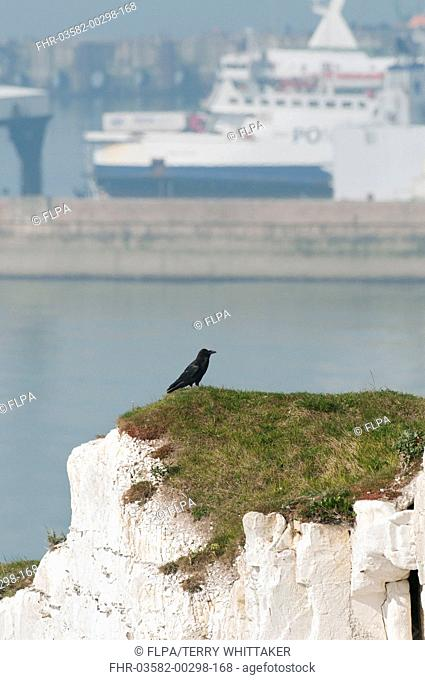 Common Raven Corvus corax adult, standing on chalk cliff overlooking ferry port, Dover, Kent, England, may