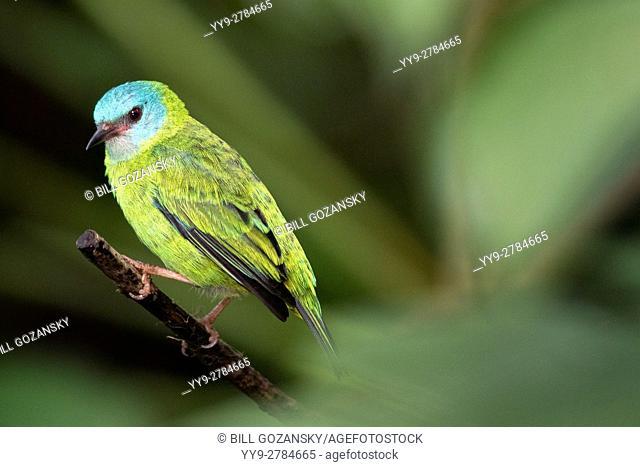 Blue Dacnis female (Dacnis cayana) - Laguna del Lagarto Lodge, Boca Tapada, Costa Rica