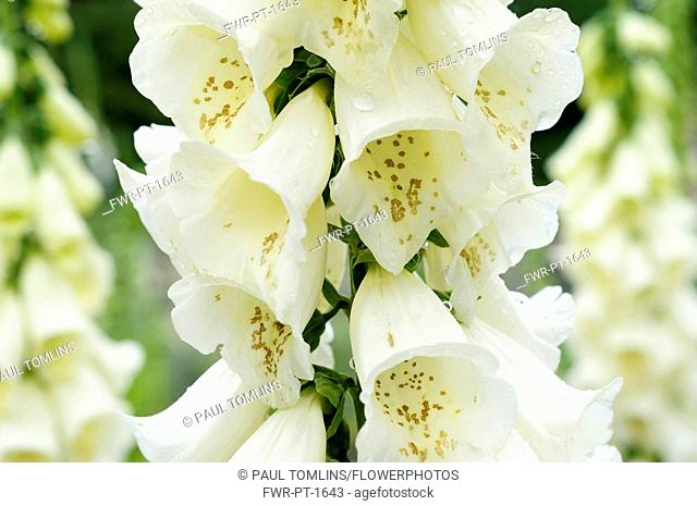 Foxglove, Digitalis, Close up of white coloured flowers growing outdoor.-