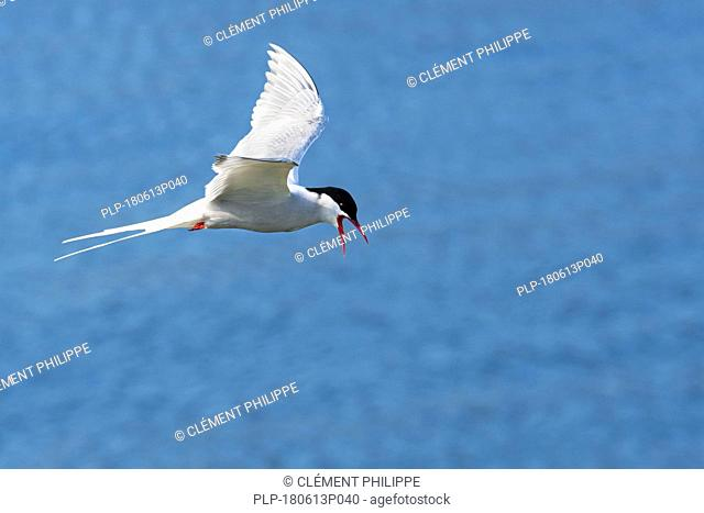 Arctic tern (Sterna paradisaea) flying over sea water / Atlantic Ocean and calling