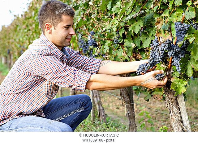 Grape harvest, Young man picking grapes, Slavonia, Croatia