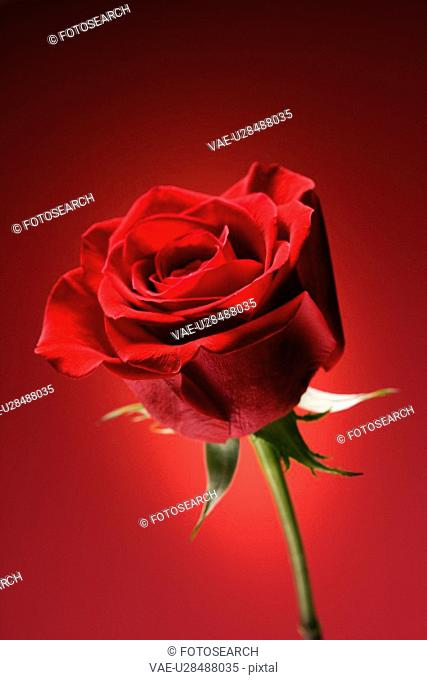 Single long-stemmed red rose against glowing red background