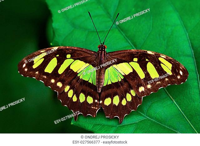 Beautiful butterfly Metamorpha stelenes in nature habitat