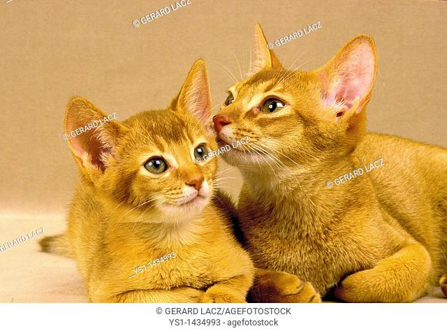 RED ABYSSINIAN DOMESTIC CAT, ADULT WITH KITTEN