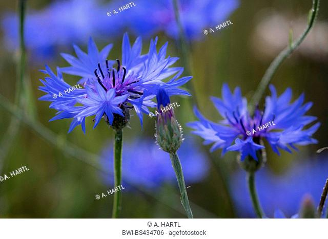 bachelor's button, bluebottle, cornflower (Centaurea cyanus), blue blossoms, Germany, Bavaria