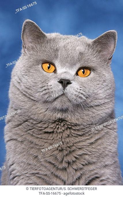british shorthaired tomcat portrait