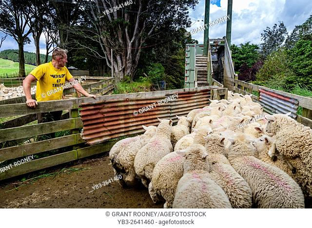 Sheep Being Loaded On To A Lorry, Sheep Farm, Pukekohe, New Zealand