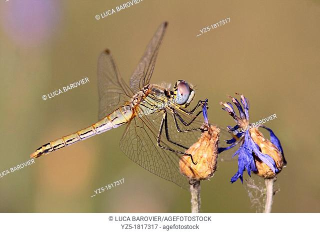 Dragonfly, Crocothemis erythraea, female - Italy