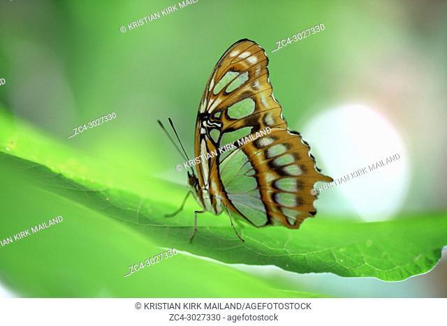 The Siproeta Stelenes butterfly, Costa Rica